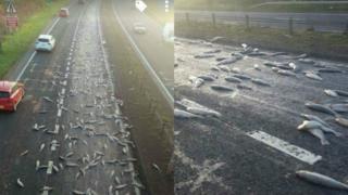 fish on road