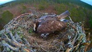 Osprey EJ with egg in nest