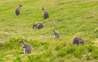 Wallabies on King Island