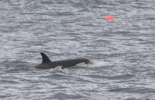 Orca Tide off Forss