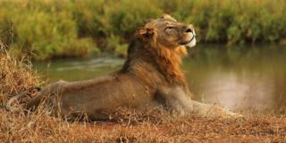 A lion stretches out by the Luvuvhu river in Kruger National Park, South Africa