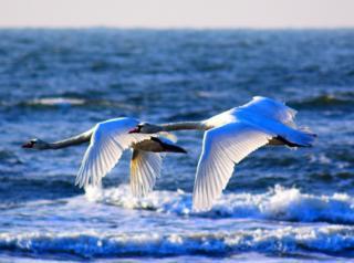 Two swans in flight