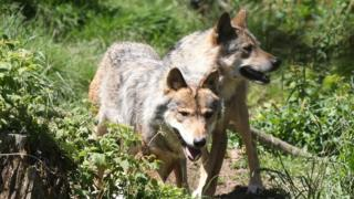 Gray wolves in nature reserve, SW France