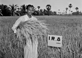 Mr Subba Rao harvesting the first IR8 harvest