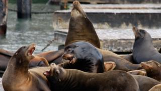 A group of sea lions plays on a dock at Pier 39 in 2007 in San Francisco, California