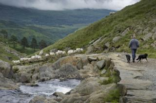 A man walks with his dogs along a path in Snowdonia