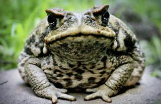 A close-up image of a cane toad