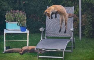 Foxes in garden in Prestwick