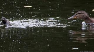 Mallard duck eating bird