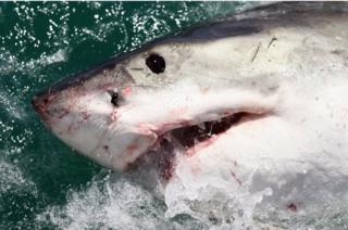A Great White Shark is attracted by a lure in Gansbaai, South Africa