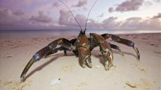 The coconut crab (Birgus latro) is a type of land hermit crab