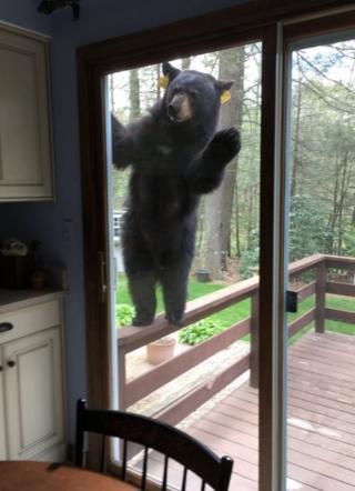 หมีดำตัวหนึ่งพยายามบุกเข้าบ้านชายป่าในเมืองเอวอนของรัฐคอนเนตทิคัต