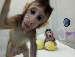 Cloned monkeys Zhong Zhong and Hua Hua are seen at the non-human primate facility at the Chinese Academy of Sciences in Shanghai, China,, on 20 January 2018.