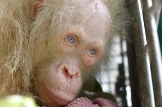 This handout picture taken on April 30, 2017 and released on May 2, 2017 by the Borneo Orangutan Survival Foundation shows a rare albino orangutan that was saved from villagers in Kapuas Hulu, on the Indonesian side of Borneo islan