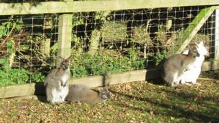Wallabies at the Animal Education Centre