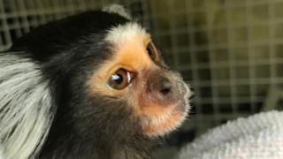 Lola the marmoset monkey