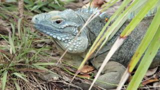 Grand Cayman blue iguana