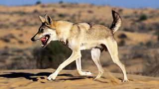 Волки (Canis lupus), как и собаки, любят покататься по вонючему