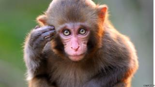 The researchers analysed brain activity in rhesus macaque monkeys