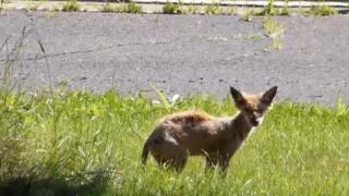 Urban coyote, Montreal