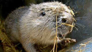 File image of a beaver