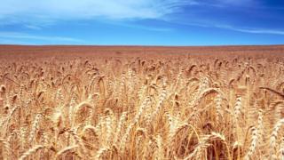 Во время своего первого дежавю Пэт Лонг оказался посреди поля золотистой пшеницы