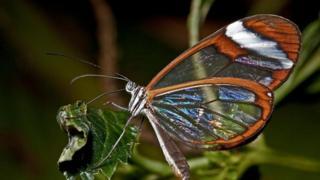 Скляний метелик