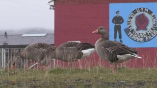 Loyalist paramilitaries put the word out that the geese were not to be touched