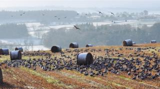Hungry birds with Kintore in the background from Kinmuck in Aberdeenshire