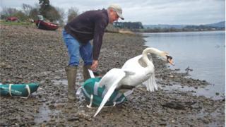 Swan release
