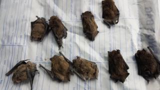 Flint dead bats