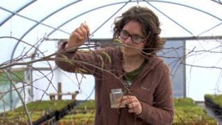 Hand pollinating aspen catkins