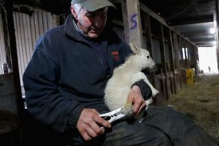 Dai Brute con un cordero en la Granja Gwndwnwal, en Brecon, Gales.