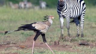 Птах-секретар