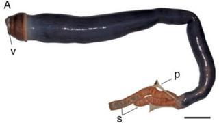 Ученые нашли на Филиппинах гигантского корабельного червя