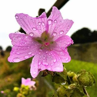 Flower covered in rain drops