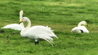 Hula with two other whooper swans