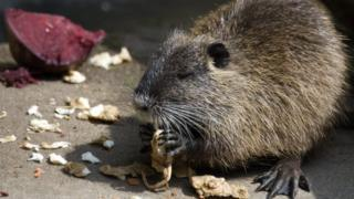 A river rat, or nutria, nibbling vegetables
