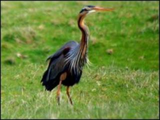 A purple heron at Dungeness