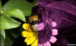 Bumblebee (Bombus terrestris terrestris) worker photographed in visible (left) and ultraviolet (right) light