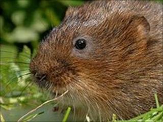 Water vole (Image: British Waterways)