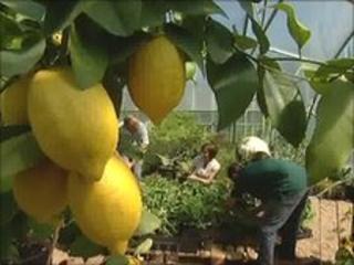 Lemons growing in Hadlow College's garden created for the Hampton Court Flower Show