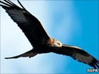 Red kite. Image: RSPB
