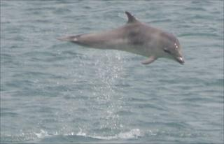 Leaping dolphin calf
