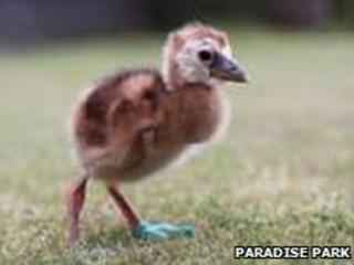 Little Crane, an African Crowned Crane chick