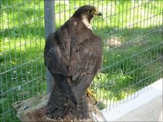Injured peregrine falcon