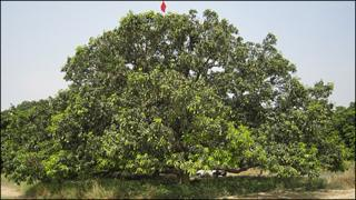 The mango tree in Dasheri known as the 'mother plant'