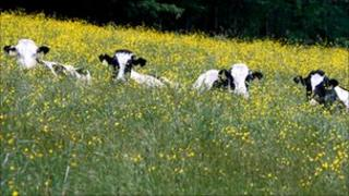 Cows in a buttercup field