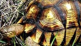 A Ploughshare tortoise. File photo