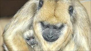 Howler monkey and her baby